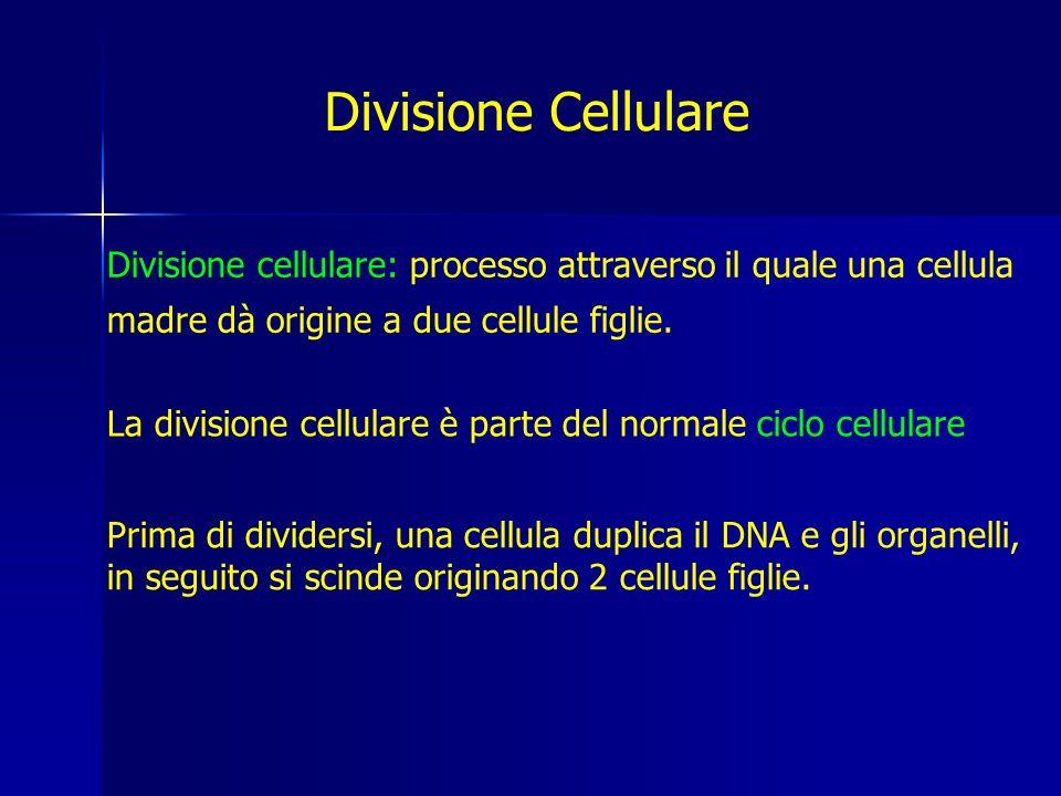 Divisione Cellulare Divisione cellulare: processo attraverso il quale una cellula madre dà origine a due cellule figlie.