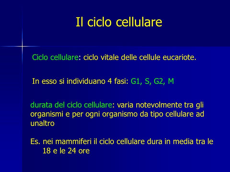 Il ciclo cellulare Ciclo cellulare: ciclo vitale delle cellule eucariote. In esso si individuano 4 fasi: G1, S, G2, M.