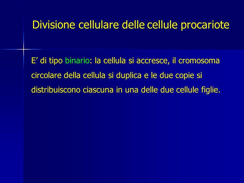 Divisione cellulare delle cellule procariote