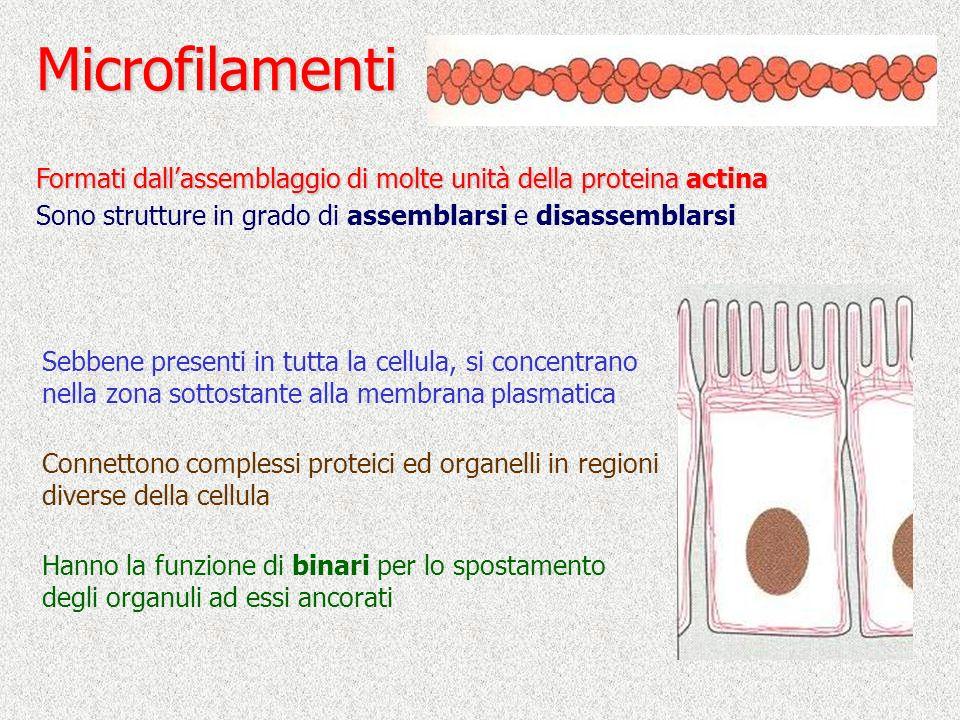 Microfilamenti Formati dall'assemblaggio di molte unità della proteina actina. Sono strutture in grado di assemblarsi e disassemblarsi.