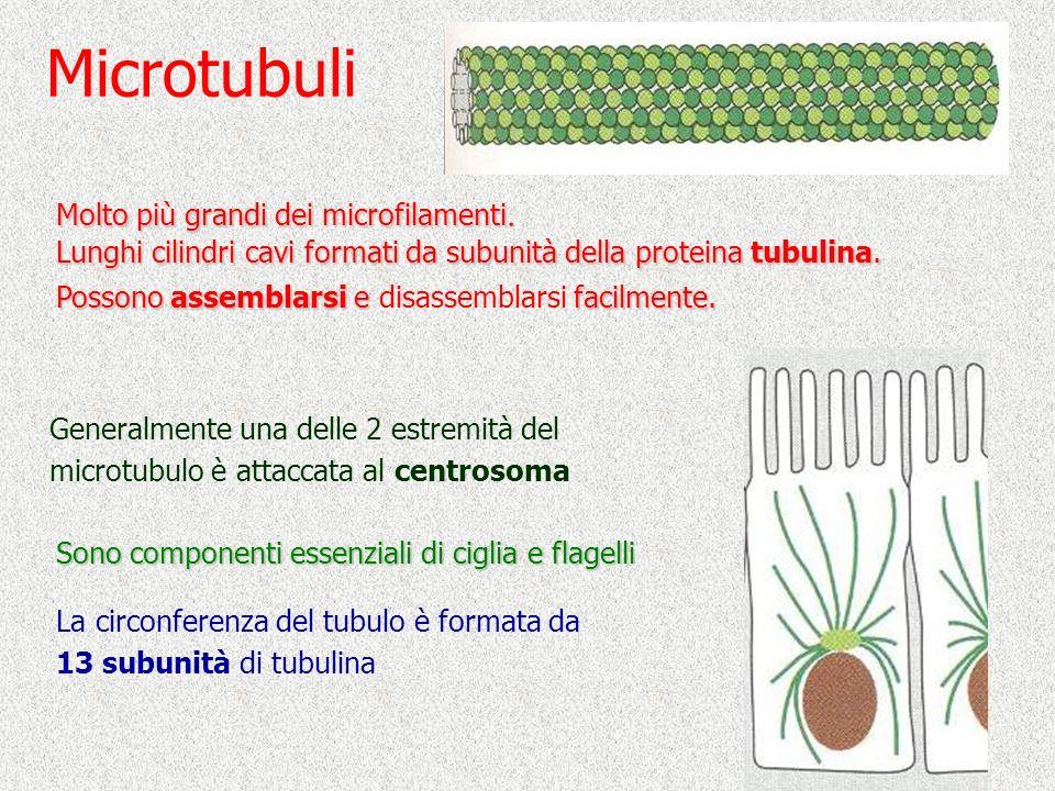 Microtubuli Molto più grandi dei microfilamenti.