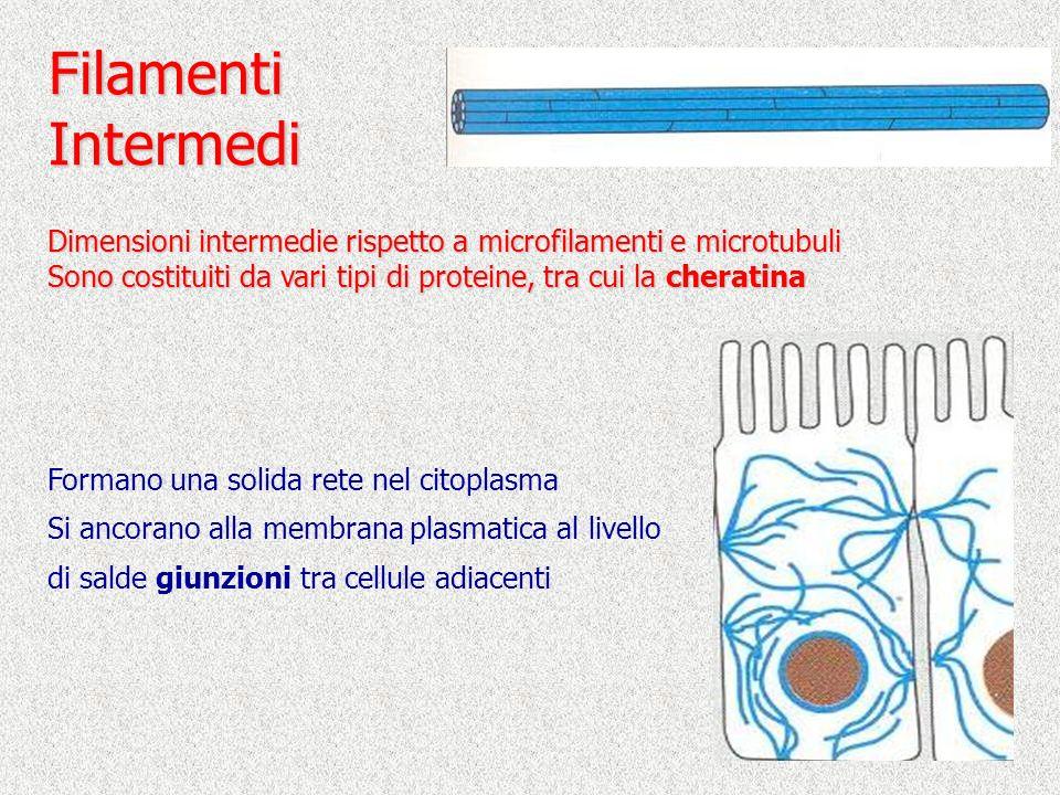 Filamenti Intermedi. Dimensioni intermedie rispetto a microfilamenti e microtubuli. Sono costituiti da vari tipi di proteine, tra cui la cheratina.
