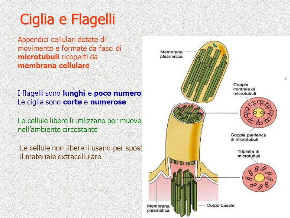 Ciglia e Flagelli Appendici cellulari dotate di movimento e formate da fasci di microtubuli ricoperti da membrana cellulare.