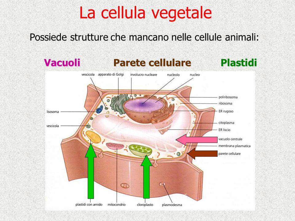 La cellula vegetale Possiede strutture che mancano nelle cellule animali: Vacuoli. Parete cellulare.