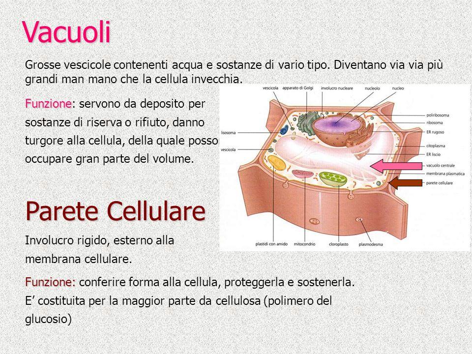 Vacuoli Parete Cellulare