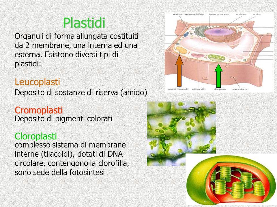 Plastidi Leucoplasti Cromoplasti Cloroplasti