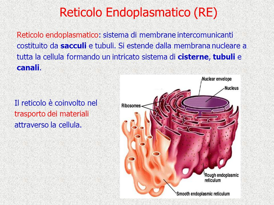 Reticolo Endoplasmatico (RE)