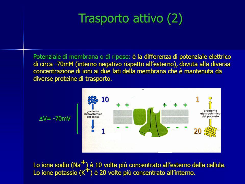 Trasporto attivo (2) - - - - - 10 1 20