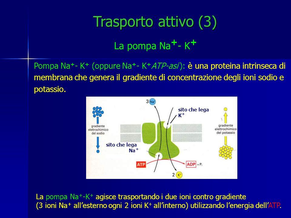 Trasporto attivo (3) La pompa Na+- K+