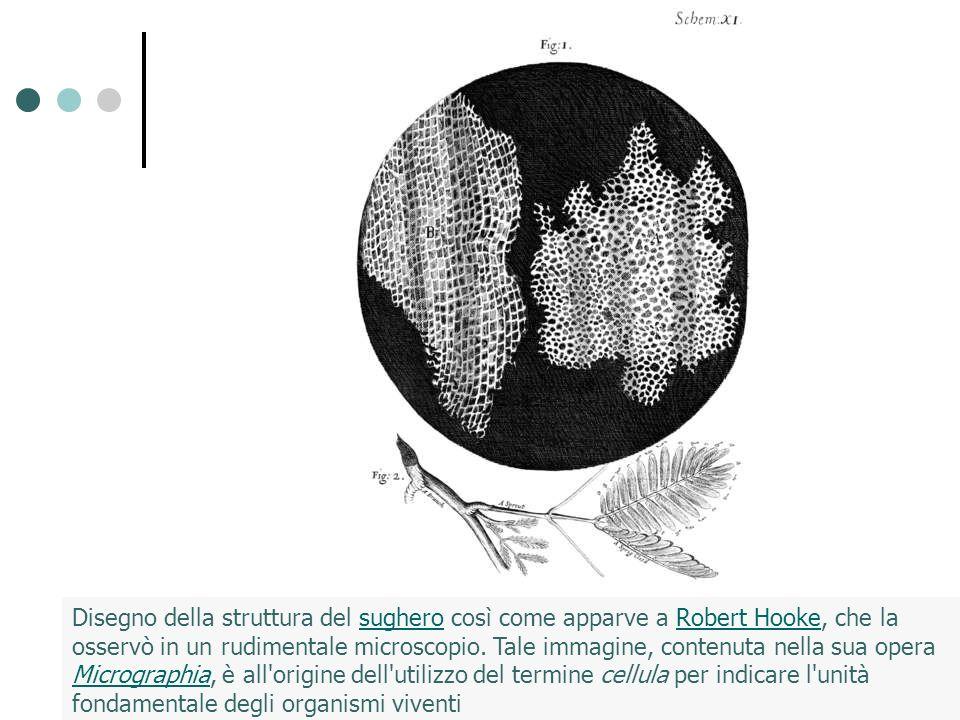 Disegno della struttura del sughero così come apparve a Robert Hooke, che la osservò in un rudimentale microscopio.