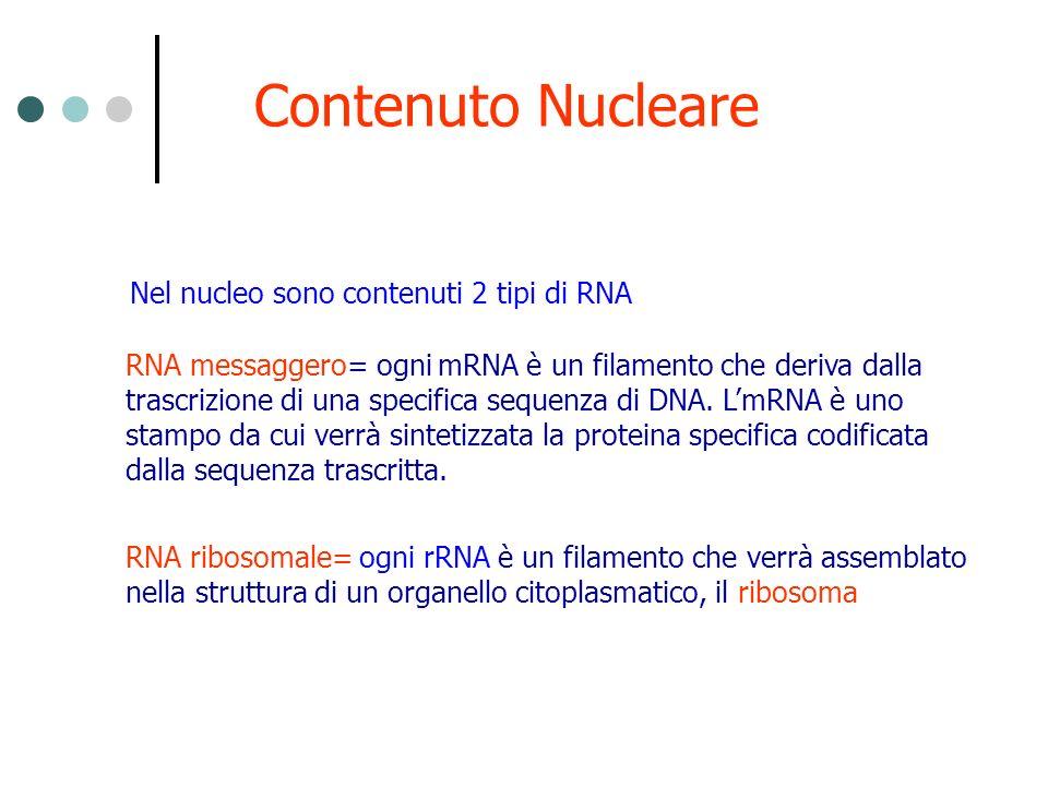 Contenuto Nucleare Nel nucleo sono contenuti 2 tipi di RNA