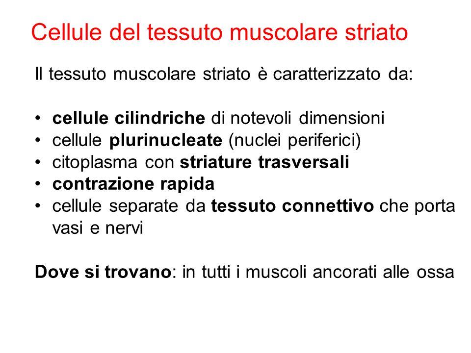 Cellule del tessuto muscolare striato