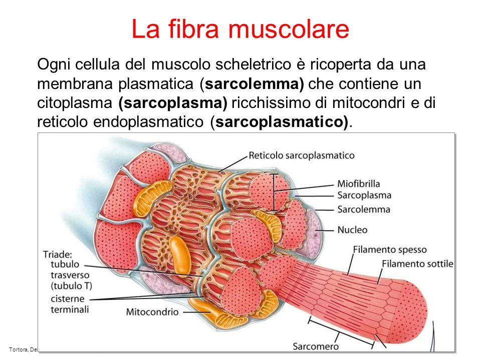 La fibra muscolare