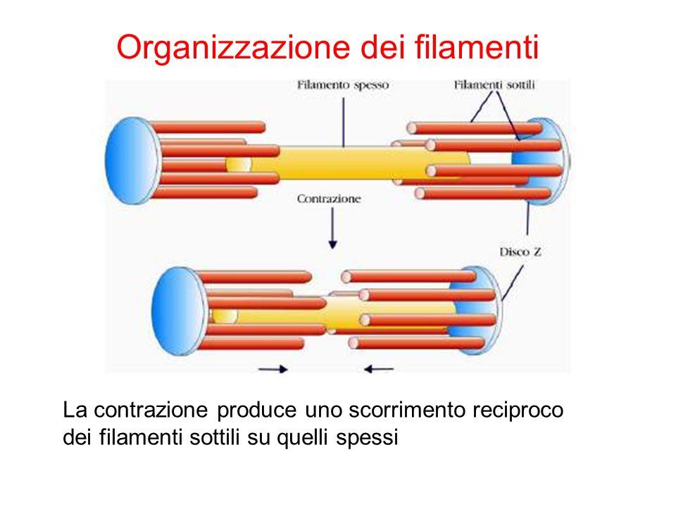 Organizzazione dei filamenti