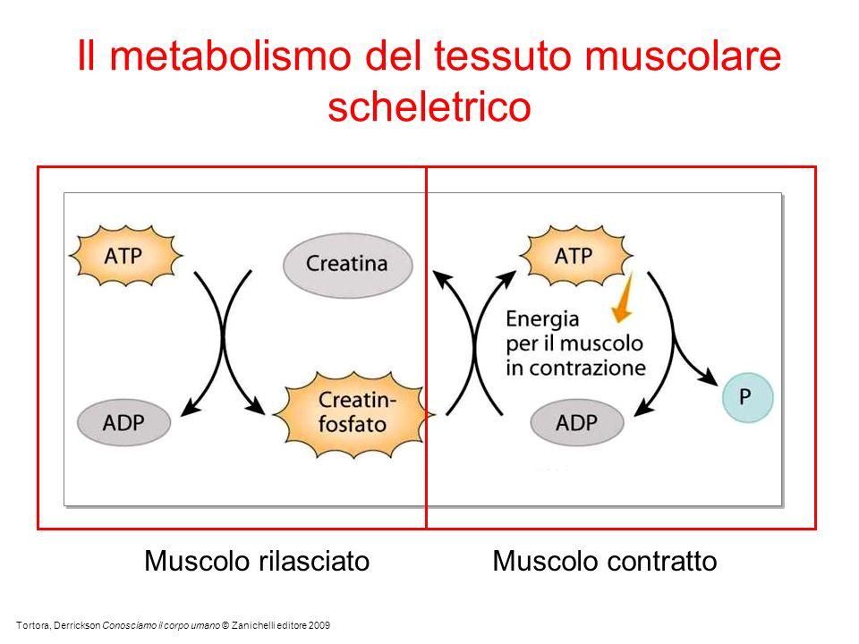 Il metabolismo del tessuto muscolare scheletrico