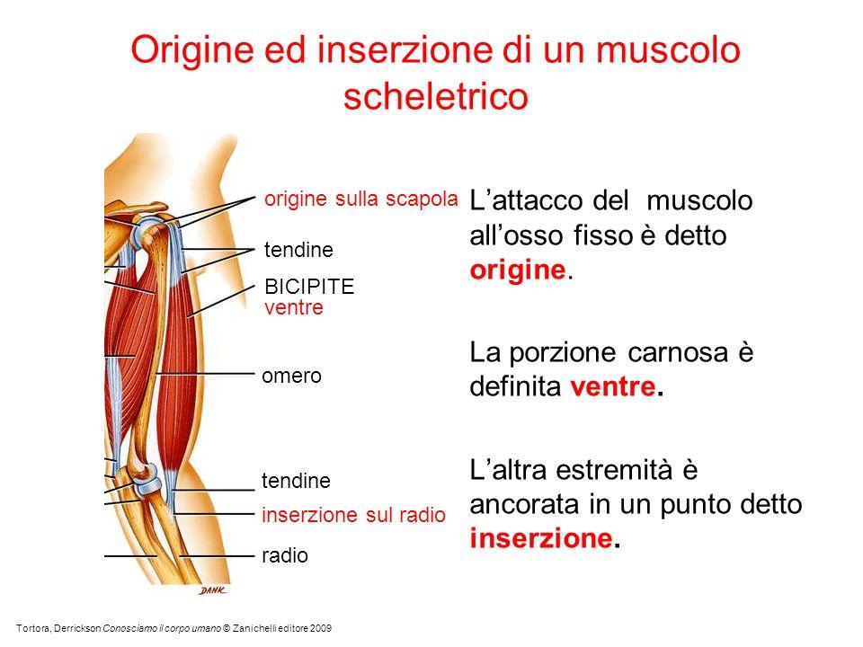 Origine ed inserzione di un muscolo scheletrico