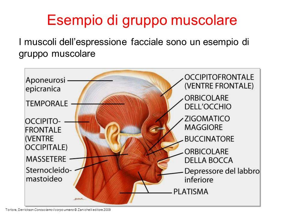 Esempio di gruppo muscolare
