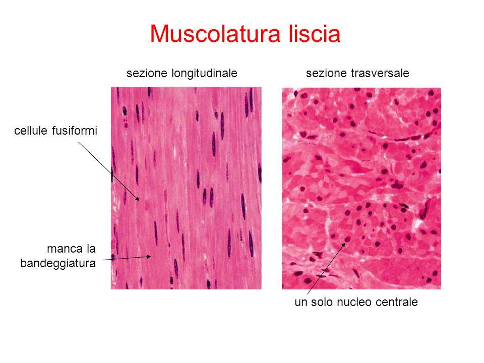 Il tessuto muscolare il tessuto muscolare specializzato for Quella del tavolo e liscia