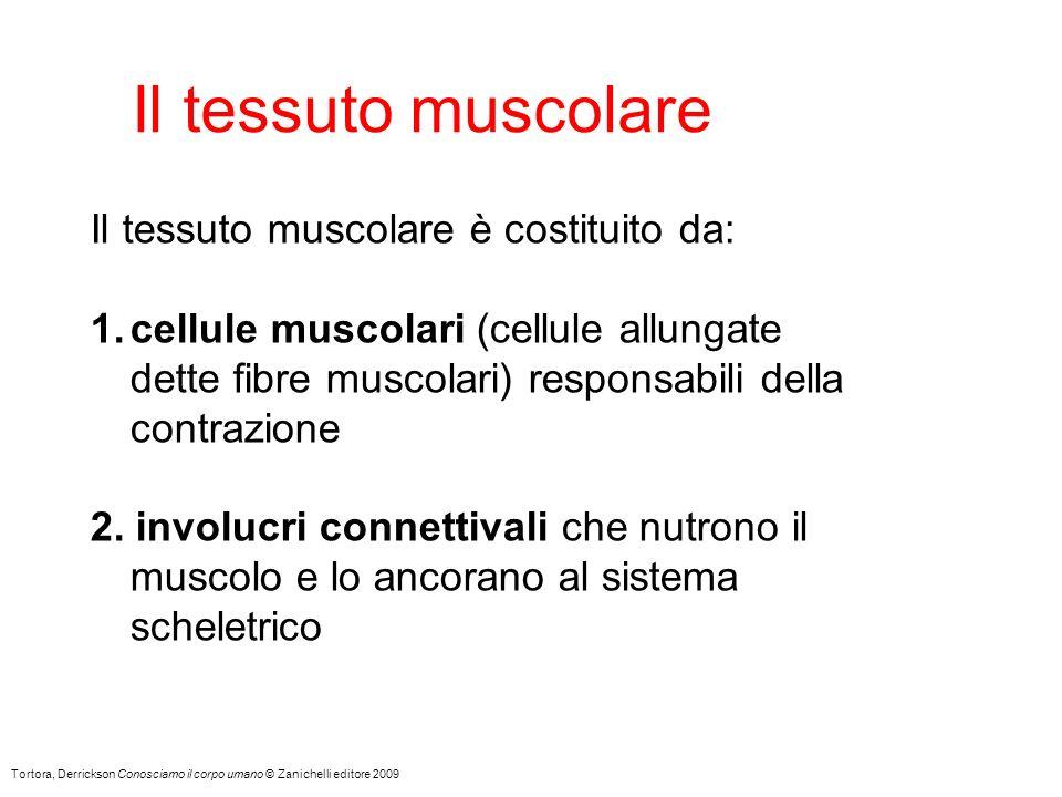Il tessuto muscolare Il tessuto muscolare è costituito da: