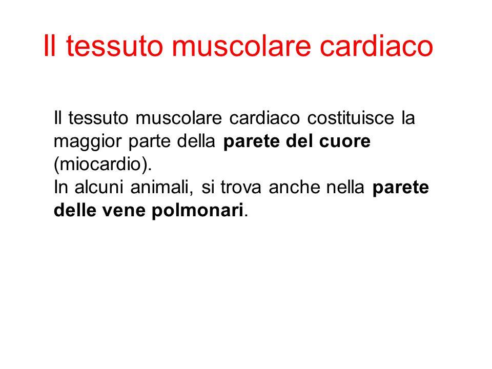 Il tessuto muscolare cardiaco