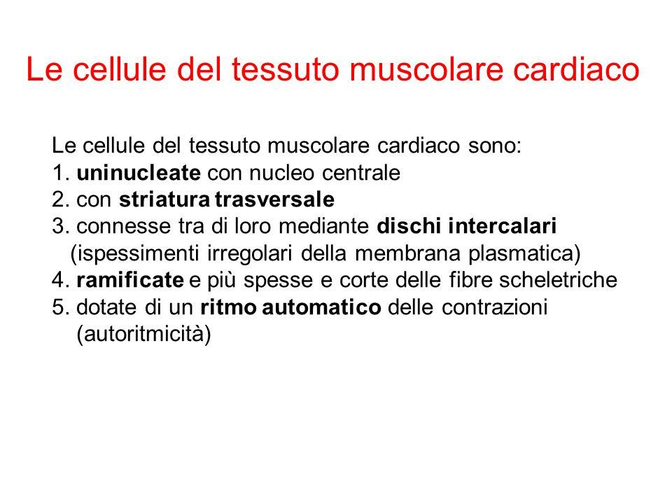 Le cellule del tessuto muscolare cardiaco