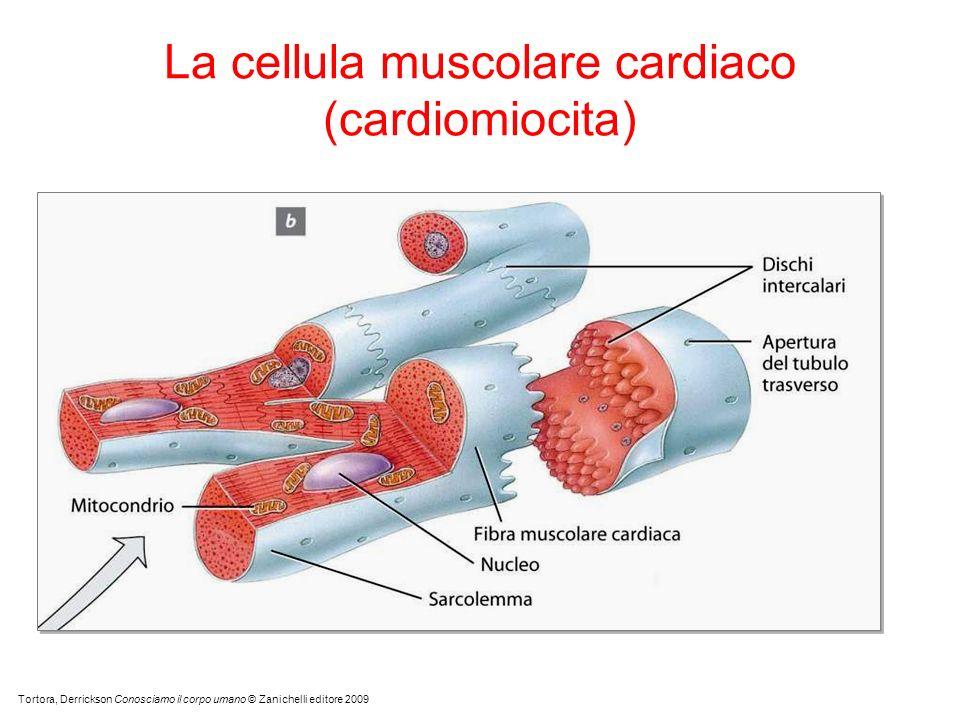 La cellula muscolare cardiaco (cardiomiocita)