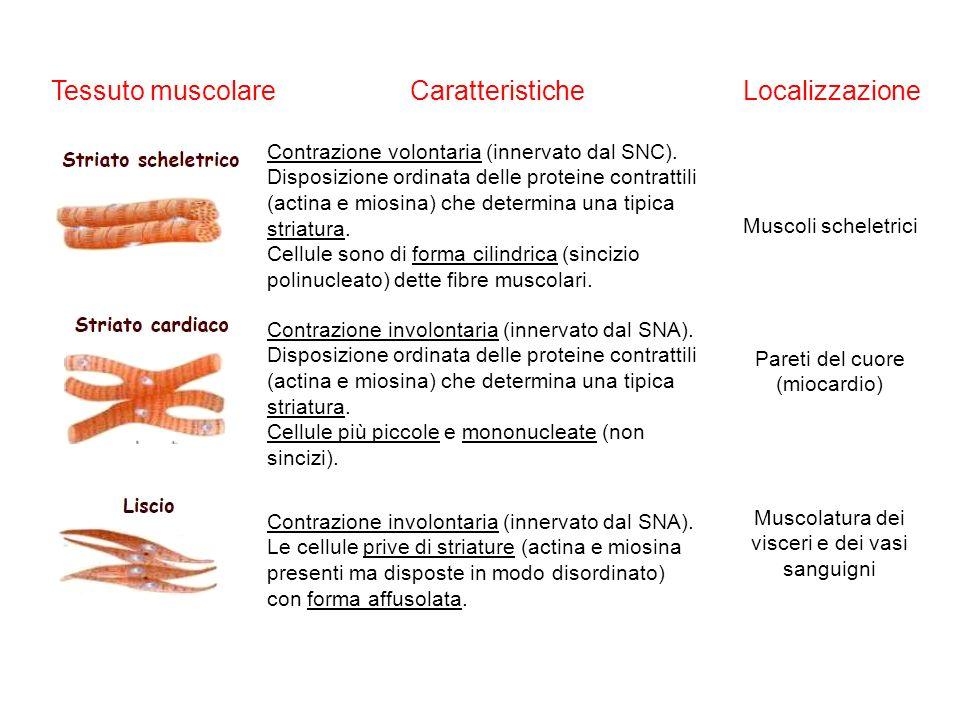 Tessuto muscolare Caratteristiche Localizzazione