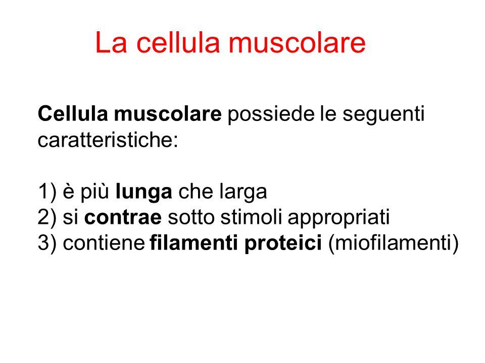 La cellula muscolare Cellula muscolare possiede le seguenti caratteristiche: 1) è più lunga che larga.