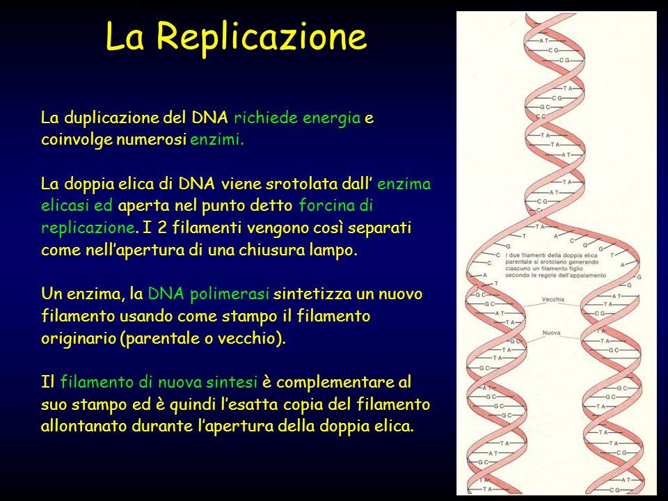 La Replicazione La duplicazione del DNA richiede energia e coinvolge numerosi enzimi.