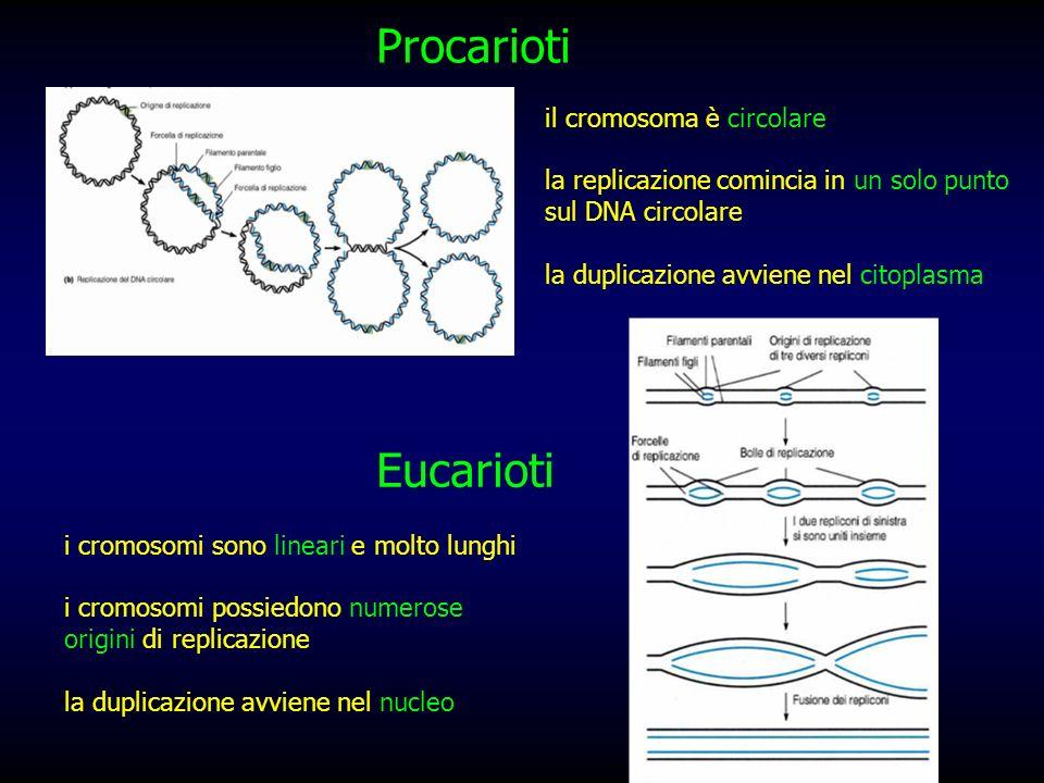 Procarioti Eucarioti il cromosoma è circolare