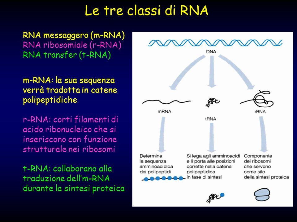 Le tre classi di RNA RNA messaggero (m-RNA) RNA ribosomiale (r-RNA)
