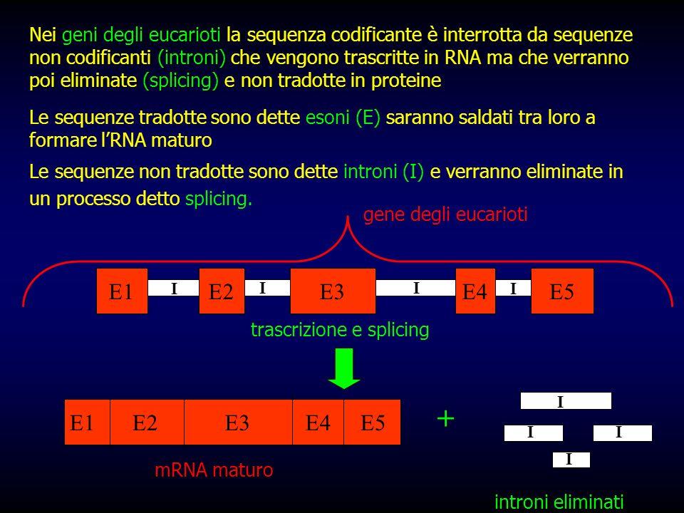 Nei geni degli eucarioti la sequenza codificante è interrotta da sequenze non codificanti (introni) che vengono trascritte in RNA ma che verranno