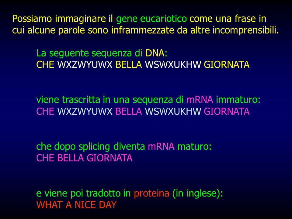 Possiamo immaginare il gene eucariotico come una frase in cui alcune parole sono inframmezzate da altre incomprensibili.