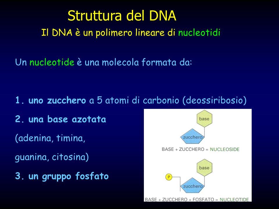 Struttura del DNA Il DNA è un polimero lineare di nucleotidi