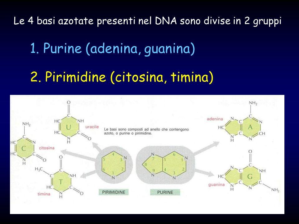 1. Purine (adenina, guanina) 2. Pirimidine (citosina, timina)