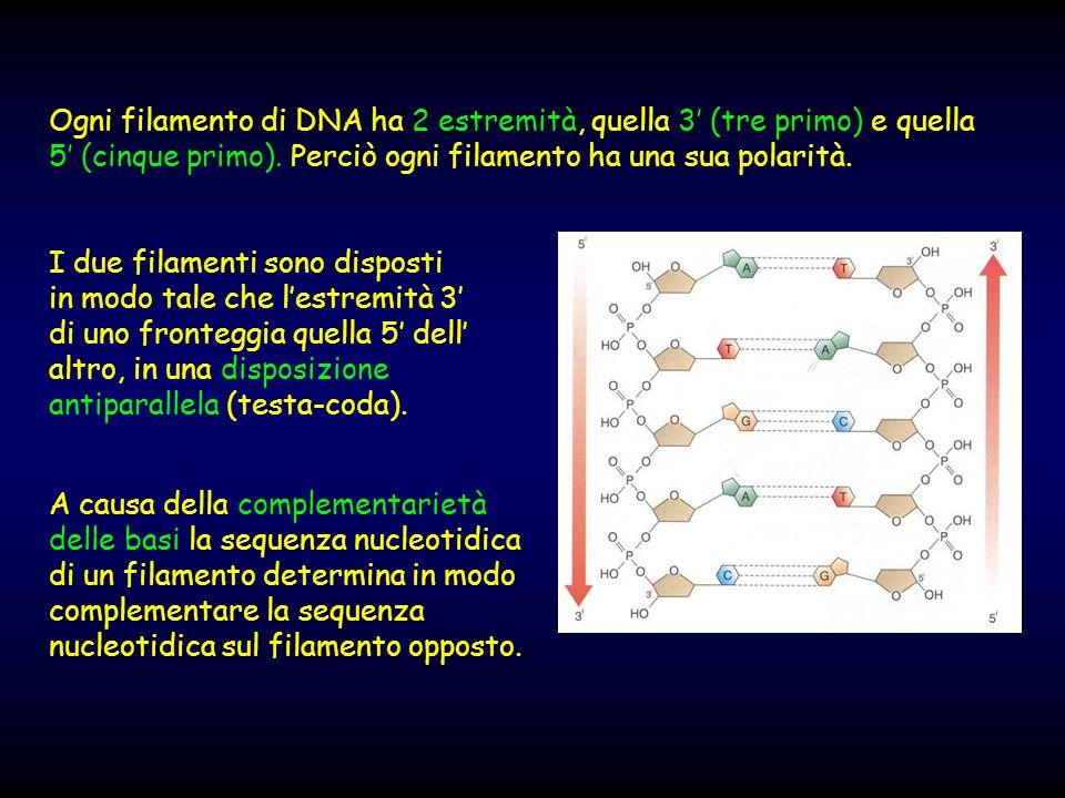 Ogni filamento di DNA ha 2 estremità, quella 3' (tre primo) e quella 5' (cinque primo). Perciò ogni filamento ha una sua polarità.