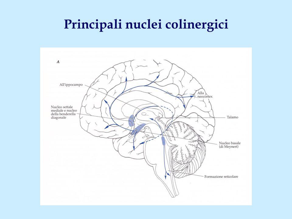 Principali nuclei colinergici