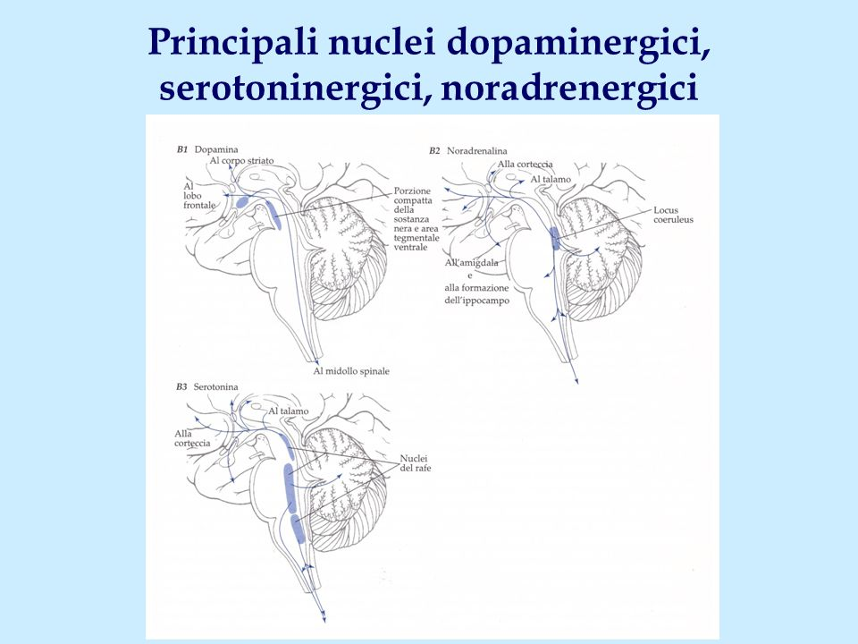 Principali nuclei dopaminergici, serotoninergici, noradrenergici