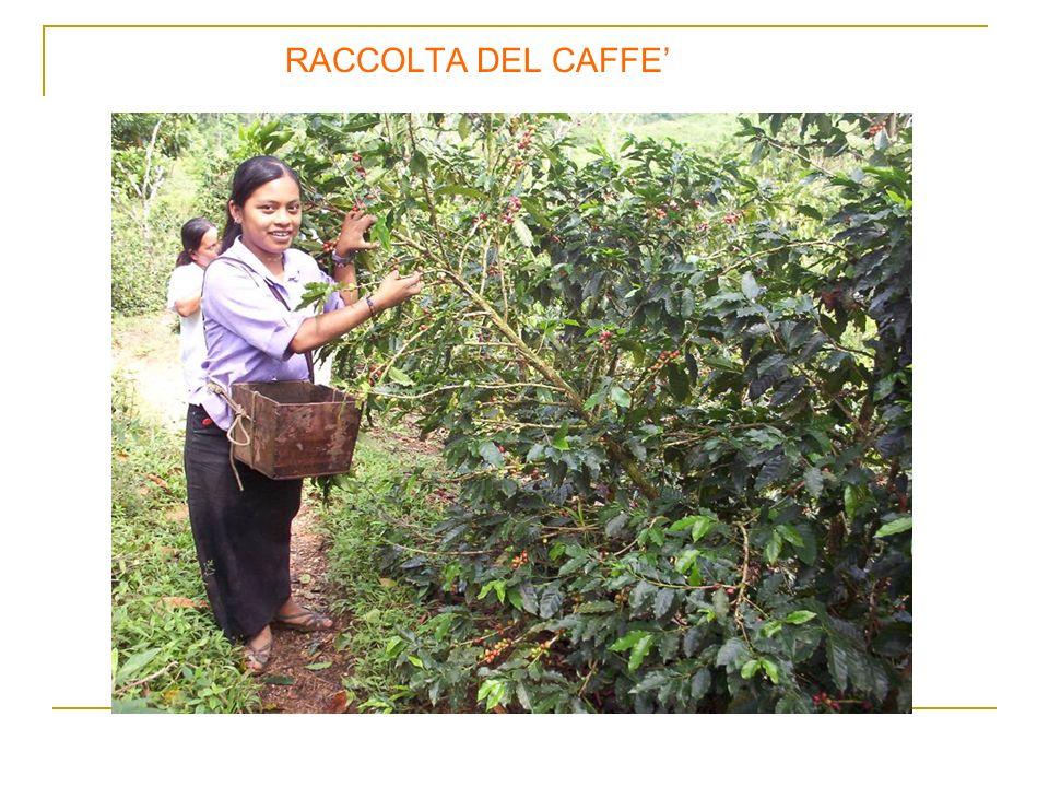 RACCOLTA DEL CAFFE'