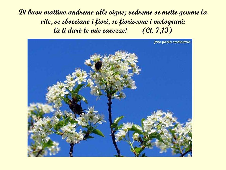Di buon mattino andremo alle vigne; vedremo se mette gemme la vite, se sbocciano i fiori, se fioriscono i melograni: là ti darò le mie carezze.