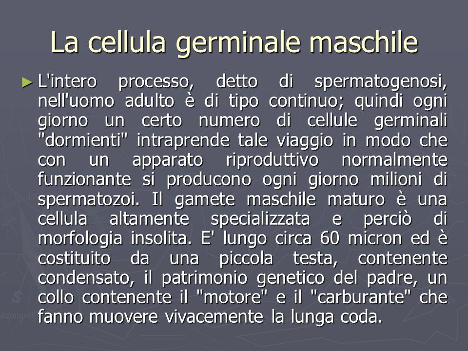 La cellula germinale maschile