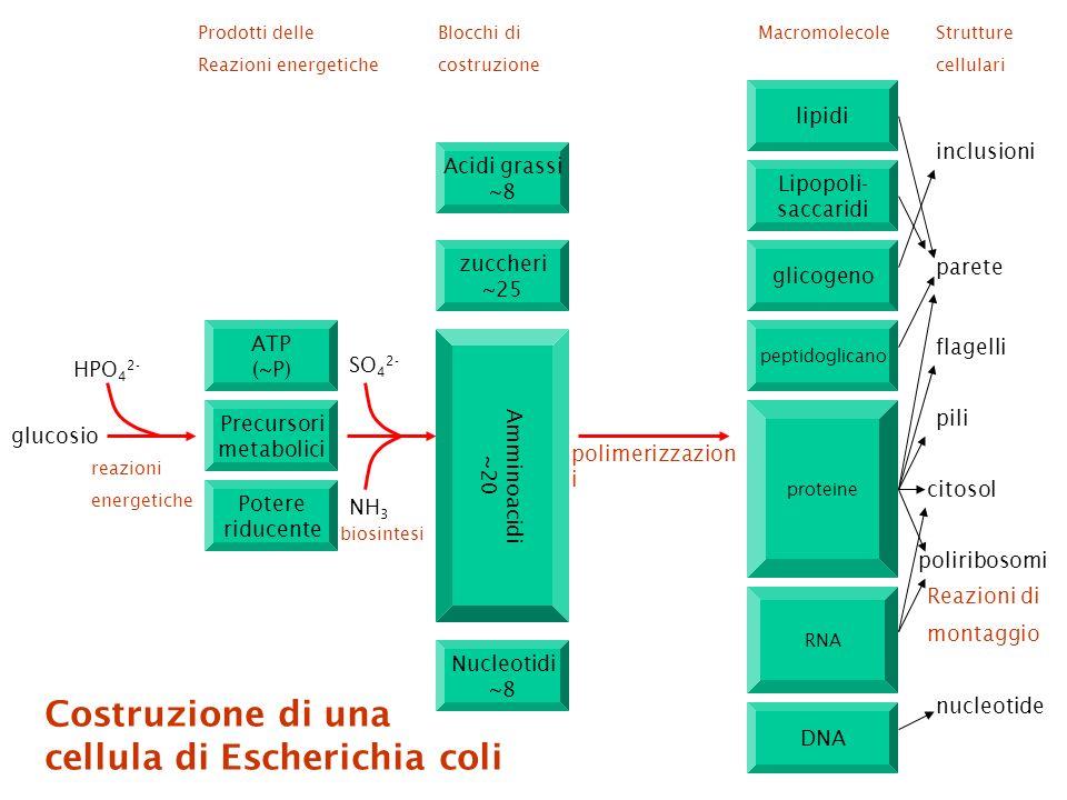 cellula di Escherichia coli
