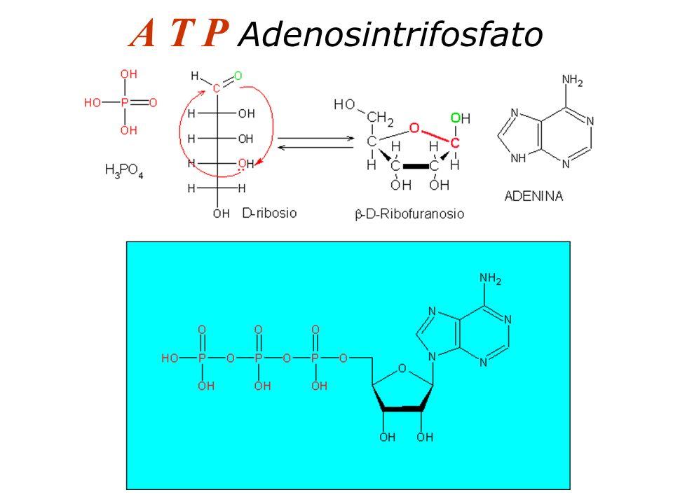 A T P Adenosintrifosfato