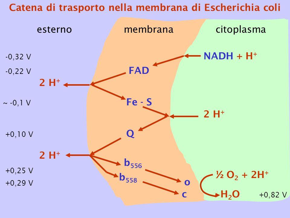 Catena di trasporto nella membrana di Escherichia coli