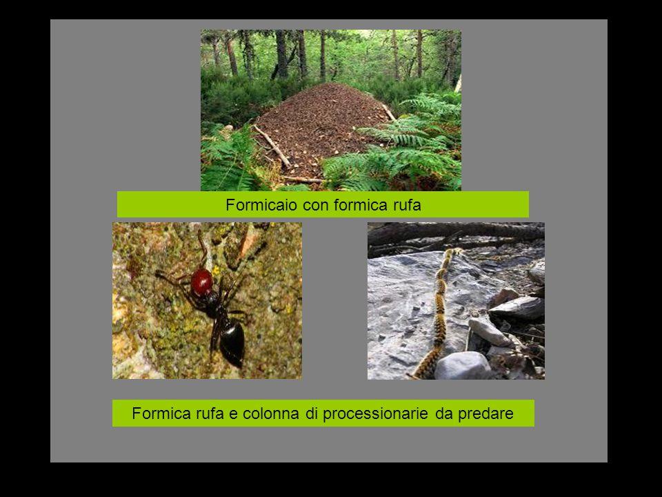 Formicaio con formica rufa