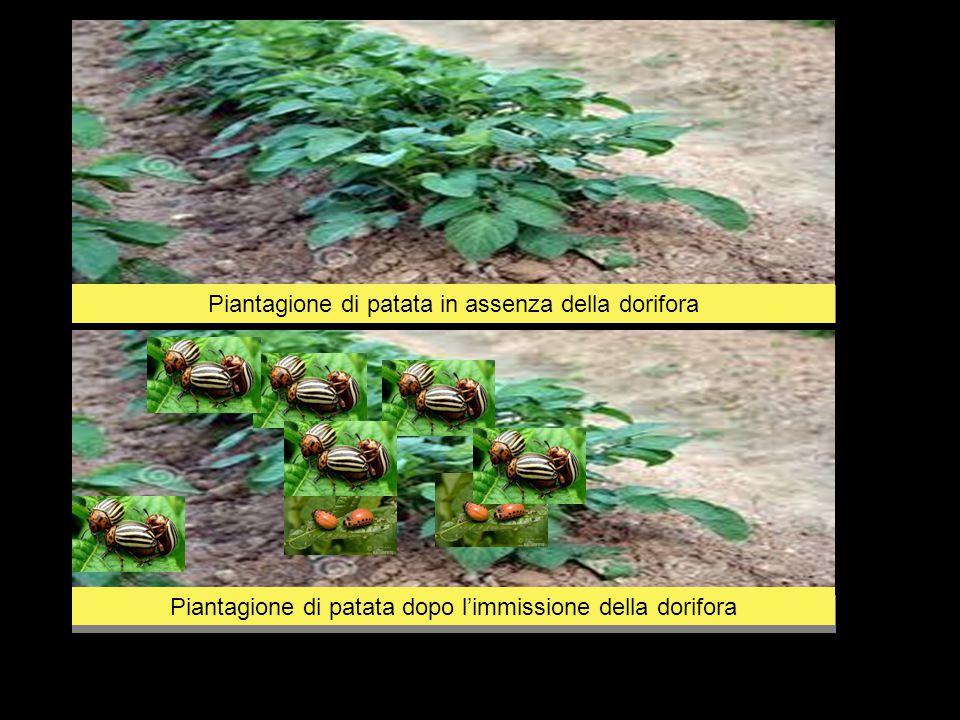 Piantagione di patata in assenza della dorifora