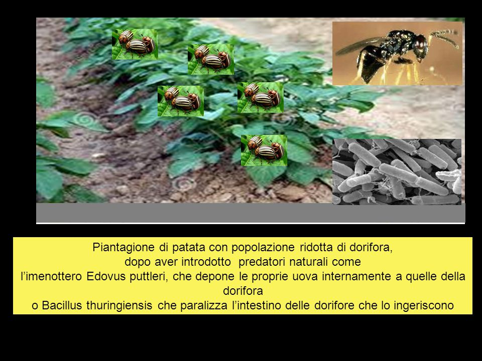 Piantagione di patata con popolazione ridotta di dorifora, dopo aver introdotto predatori naturali come l'imenottero Edovus puttleri, che depone le proprie uova internamente a quelle della dorifora o Bacillus thuringiensis che paralizza l'intestino delle dorifore che lo ingeriscono