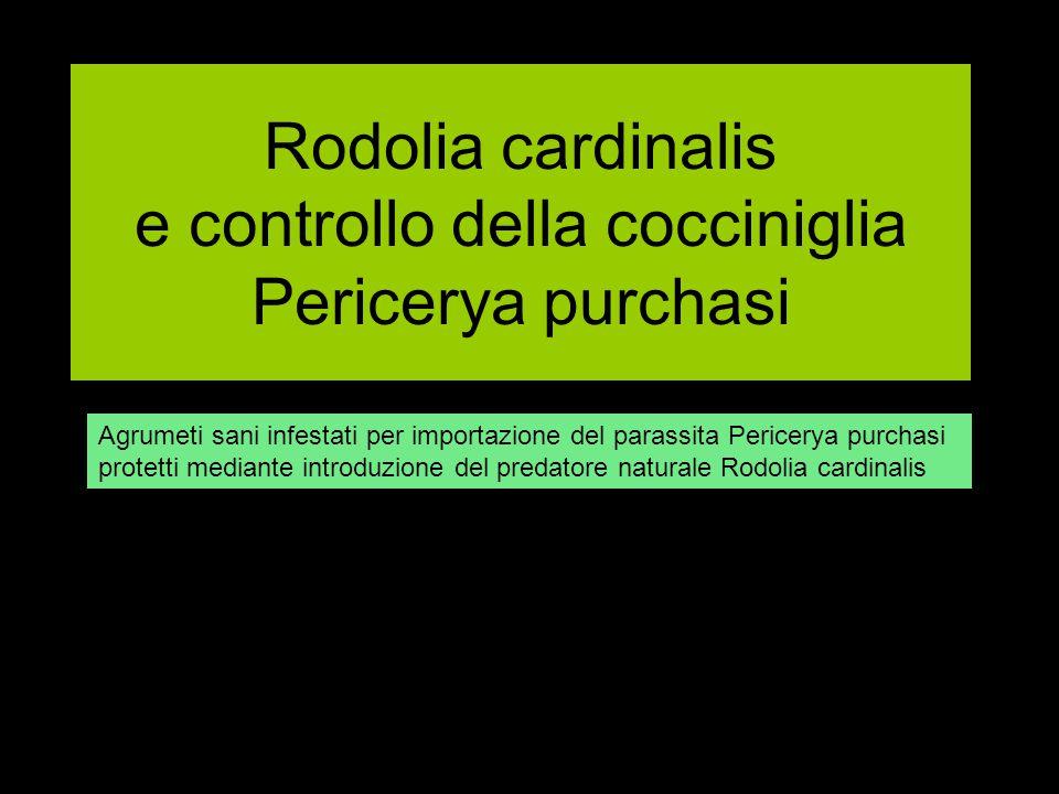 Rodolia cardinalis e controllo della cocciniglia Pericerya purchasi