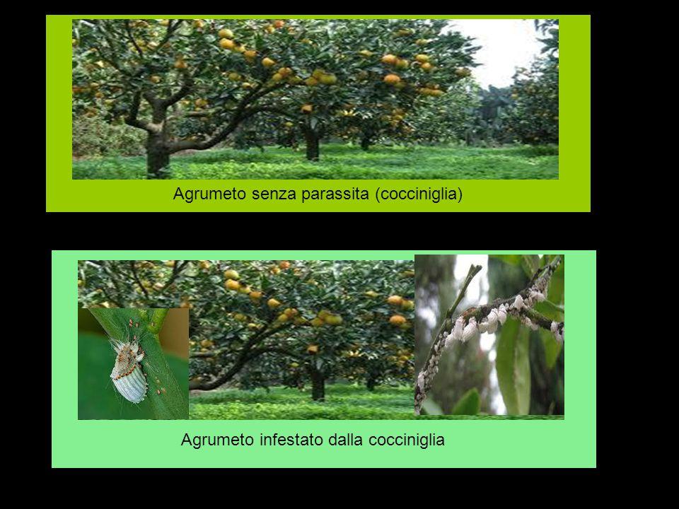 Agrumeto senza parassita (cocciniglia)
