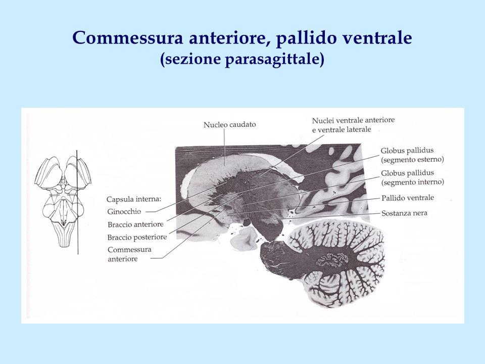 Commessura anteriore, pallido ventrale (sezione parasagittale)